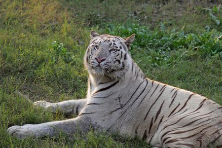 White Tiger sitting in green grass in Delhi Zoo, India Stock Photo - 7483907