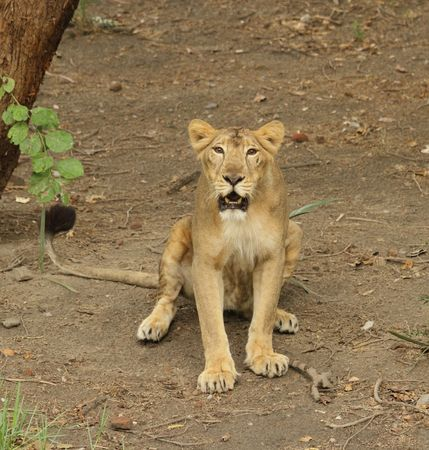An Asiatic Lioness sitting and looking in New Delhi Zoo   photo