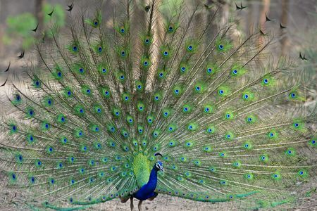 flaunt: Indian Peacock dancing in the jungle.