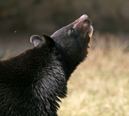 himalayan: Asiatic Black Bear looks up in New Delhi Zoo, India