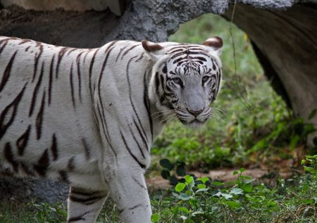White Tiger in New Delhi Zoo Stock Photo - 7615212