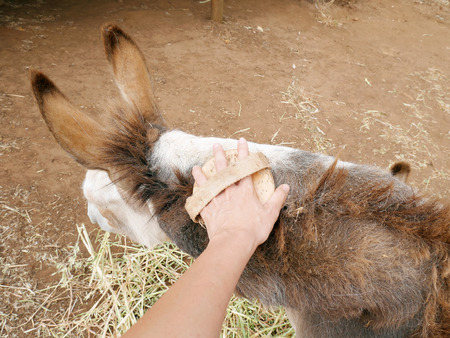ears donkey: Donkey is groomed by brushing its fur