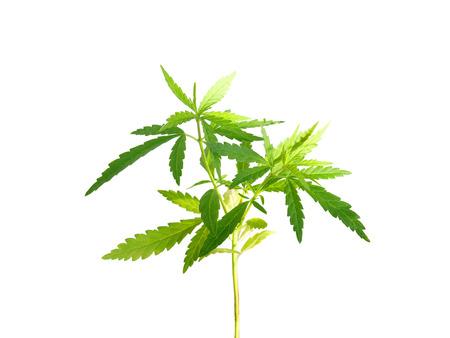 marihuana: Planta de marihuana aislado sobre fondo blanco (con trazado de recorte)