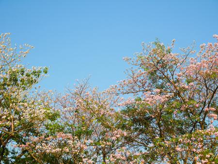 rosea: Tabebuia rosea blooming on clear blue sky Stock Photo