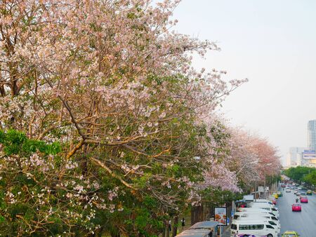 long weekend: Bangkok, Thailand - April 17: Tabebuia rosea trees or Pink trumpet trees are in bloom along the road in Bangkok on the last day of long weekend in evening on April 17, 2016
