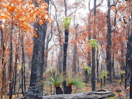 buisson: Kingias survivent après les feux de brousse en Australie occidentale Banque d'images