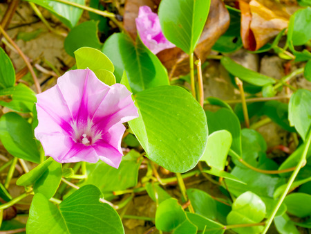 pes caprae: Ipomoea pes-caprae or beach morning glory flowers on the beach in Thailand