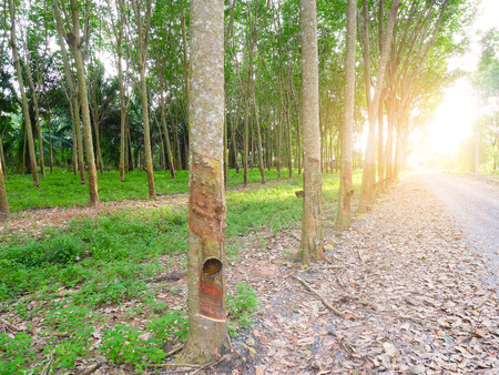tapping: Rubber trees in forest for collecting latex. Rubber tapping.