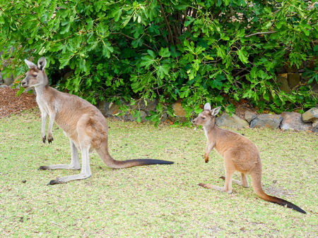 joey: Wild kangaroos standing in the field Stock Photo