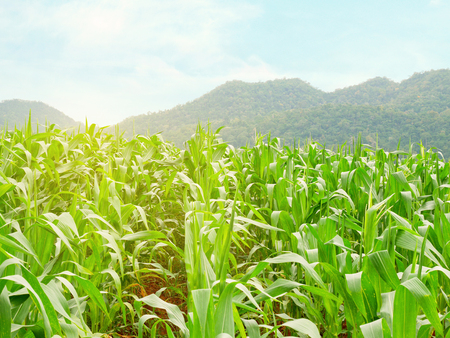 Green cornfield with mountain background