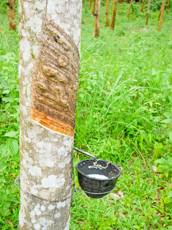 Bowl for collecting latex from a rubber tree. Rubber tapping.