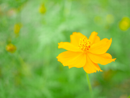 Sulfur cosmos or yellow cosmos blooming in the field