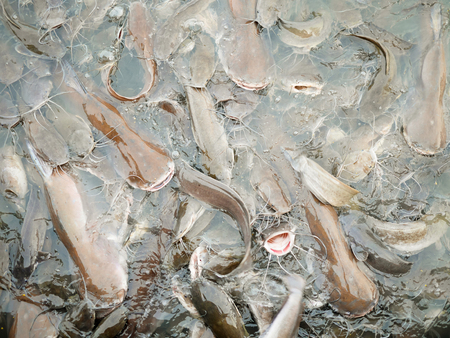 Iridescent sharks or swai in the river