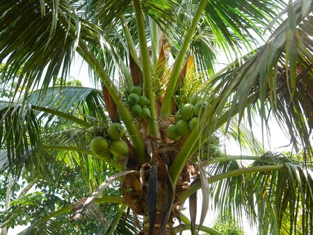 Coconut fruit on coconut tree in orchard