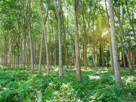 Rubber trees in forest for collecting latex. Rubber tapping.