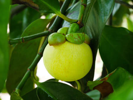 Young green mangosteen in mangosteen orchard