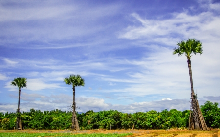 palmyra palm: palmyra palm agriculture asia  background beautifu rural Stock Photo