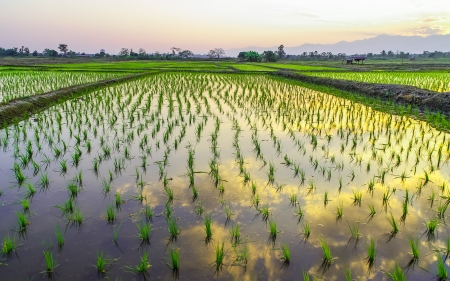 Rice paddy fields and water asia countryside in Thailand