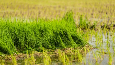 Rice field in early stage at thailand photo