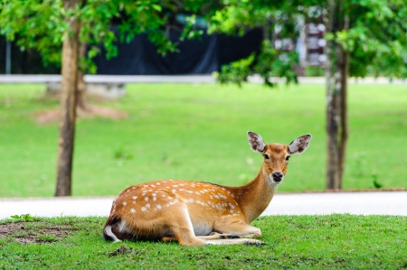 axis deer: Chital deer , Spotted deer , Axis deer on raining day