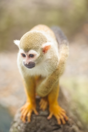 A close-up of a common squirrel monkey  saimiri sciureus  photo