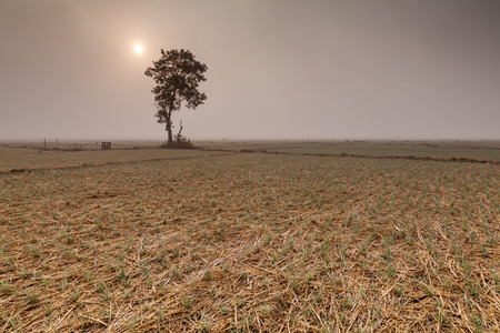 A lonely  tree and onion fields in winter under the sun photo