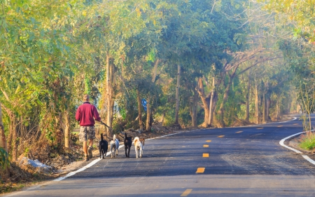 A man and his dogs walking in the morning