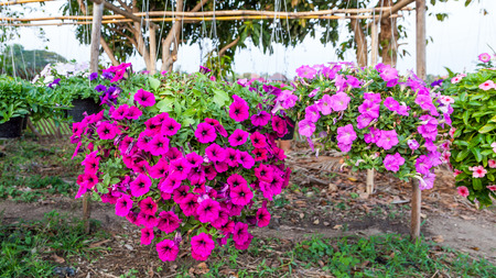 Petunia hanging on baskets. photo