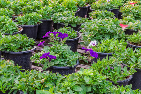 Petunia flower plants in greenhouse,Thailand. Stock Photo