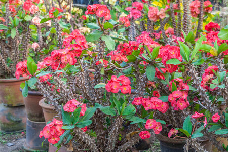 Crown of thorns, Christ Thorn , poi sian flowers , Euphorbia milli Desmoul. photo