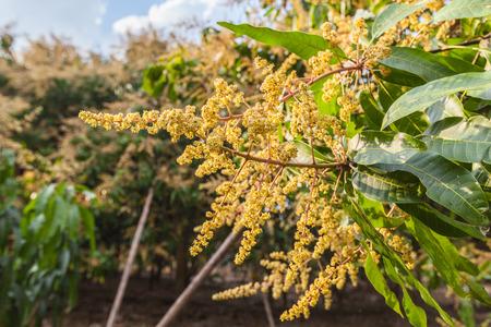 kona: Mango orchards asia Thailand