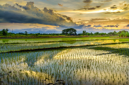 Rice paddy fields and water asia countryside in Thailand in evening sunset.