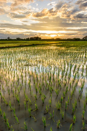 Rice paddy fields countryside in Lamphun Thailand. landspace view  paddy field plantation in  evening. photo