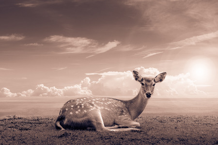mother and baby deer: Chital deer , Spotted deer , Axis deer Stock Photo