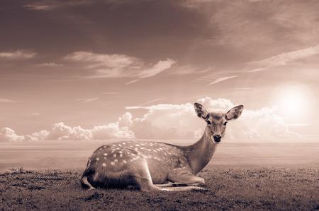 venado: Ciervos Chital, ciervos manchados, ciervos Axis
