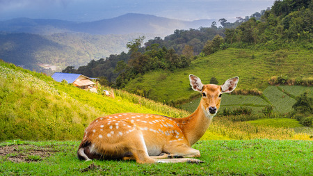 axis deer: Chital deer , Spotted deer , Axis deer Stock Photo