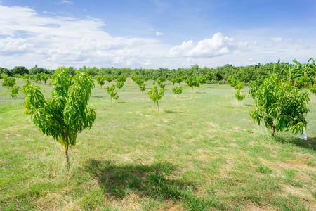 mango: Mango sady Azja Tajlandia. Zdjęcie Seryjne