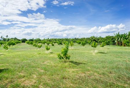 orchards: Mango orchards asia Thailand.