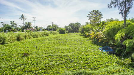 weed block: Water pollution and Water hyacinth on the river surface , Eichhornia crassipes.