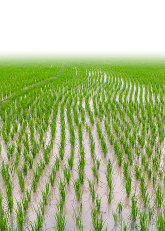 Rice field isolated on white background.