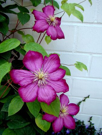 Clematis against a wall.