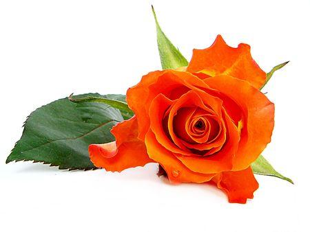 orange roses. Photo