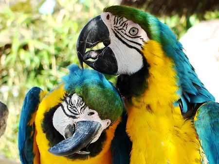the two parrots: Tenderness of two parrots                                Stock Photo