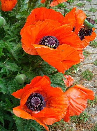 pappy: Blossoming red poppies with buds