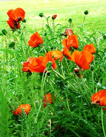 pappy: Blossoming red poppies with buds                                  Stock Photo