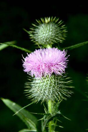 prickle: Dismissed flower a weed a prickle