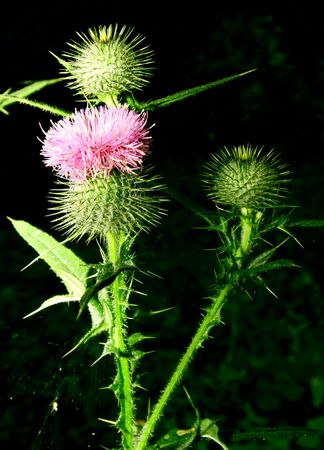 prickle: Blossoming prickle and two buds Stock Photo
