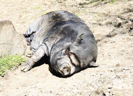The wild boar lies on the earth photo