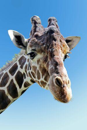 Wild giraffe portrait photo
