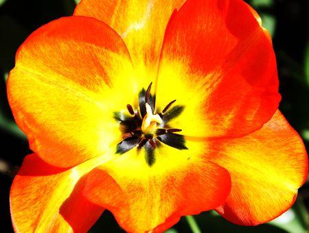 close ups: Red tulip to close ups Stock Photo